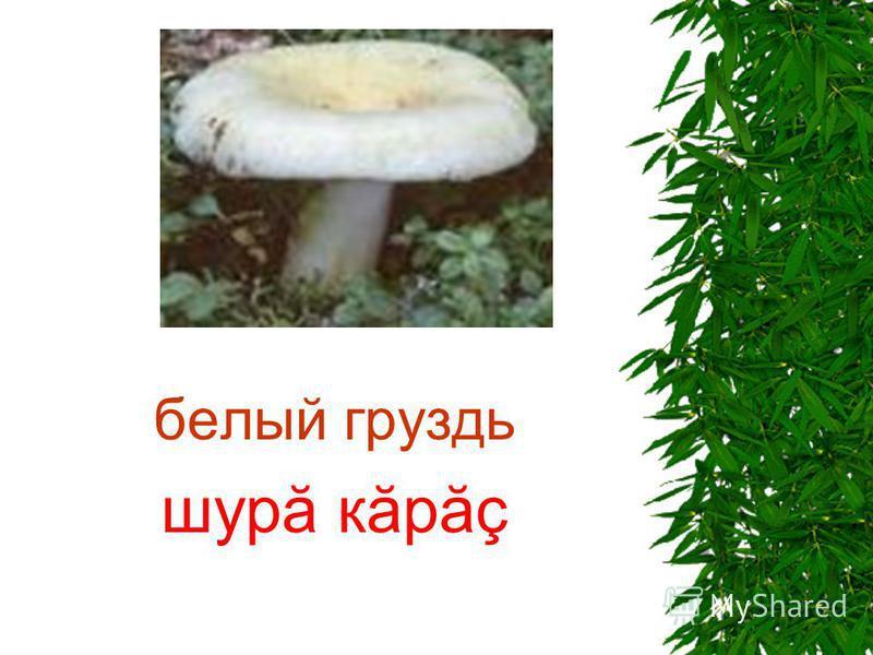 белый груздь шурă кăрăç