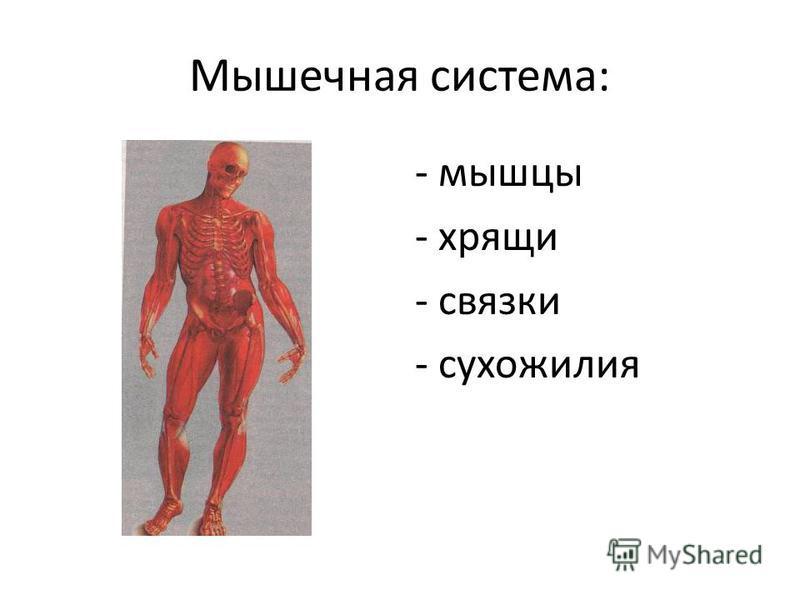 Мышечная система: - мышцы - хрящи - связки - сухожилия