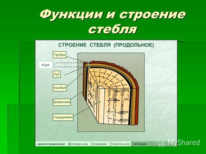 Функции и строение стебля