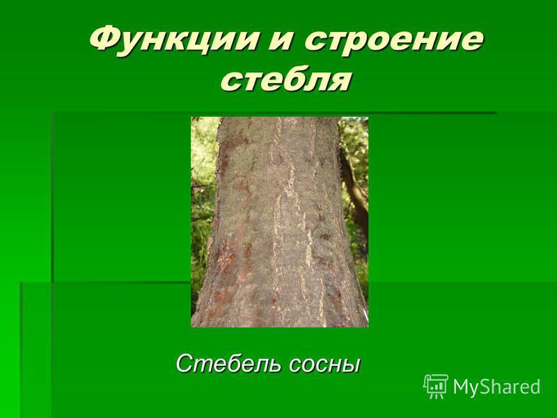Функции и строение стебля Стебель сосны