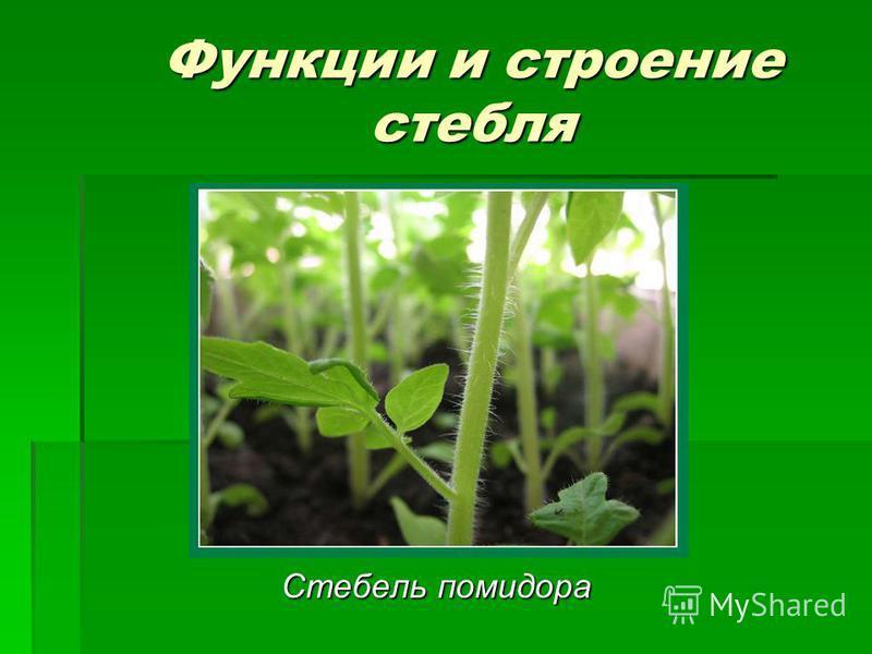 Функции и строение стебля Стебель помидора Стебель помидора