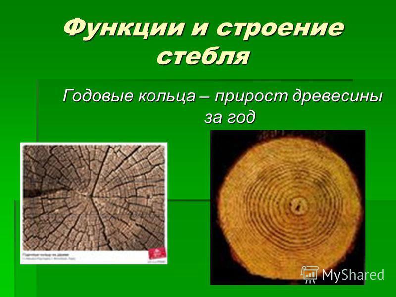 Функции и строение стебля Годовые кольца – прирост древесины за год