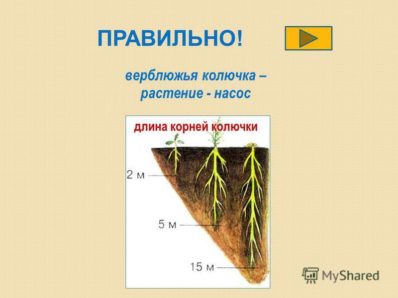ПРАВИЛЬНО! длина корней колючки верблюжья колючка – растение - насос
