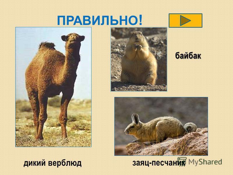 ПРАВИЛЬНО ! дикий верблюд заяц-песчаник байбак