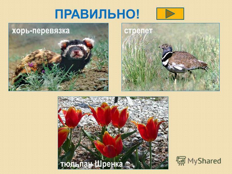 ПРАВИЛЬНО! хорь-перевязка стрепет тюльпан Шренка