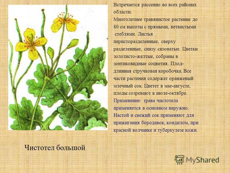 Встречается рассеяно во всех районах области. Многолетнее травянистое растение до 80 см высоты с прямыми, ветвистыми стеблями. Листья перистораздельные, сверху разделенные, снизу сизоватые. Цветки золотисто-желтые, собраны в зонтиковидные соцветия. П