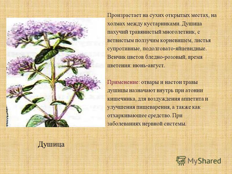Произрастает на сухих открытых местах, на холмах между кустарниками. Душица пахучий травянистый многолетник, с ветвистым ползучим корневищем, листья супротивные, продолговато-яйцевидные. Венчик цветов бледно-розовый, время цветения: июнь-август. Прим