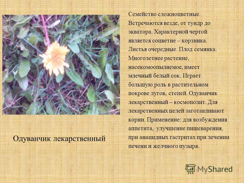 Семейство сложноцветные. Встречаются везде, от тундр до экватора. Характерной чертой является соцветие – корзинка. Листья очередные. Плод семянка. Многолетнее растение, насекомоопыляемое, имеет млечный белый сок. Играет большую роль в растительном по