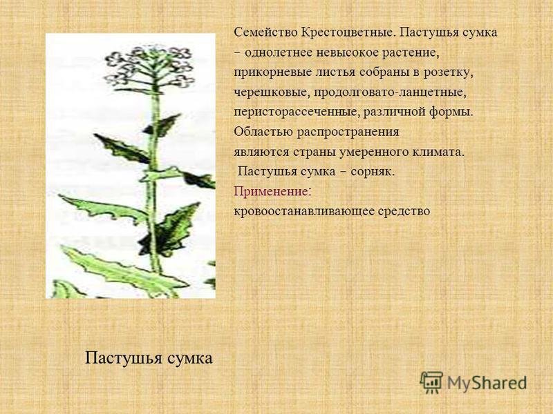 Семейство Крестоцветные. Пастушья сумка – однолетнее невысокое растение, прикорневые листья собраны в розетку, черешковые, продолговато - ланцетные, перисторассеченные, различной формы. Областью распространения являются страны умеренного климата. Пас