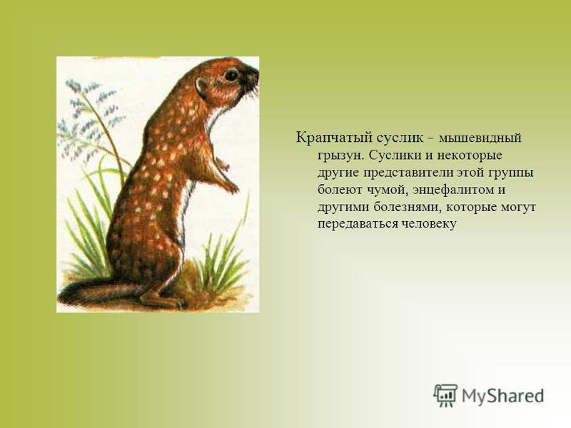 Крапчатый суслик – мышевидный грызун. Суслики и некоторые другие представители этой группы болеют чумой, энцефалитом и другими болезнями, которые могут передаваться человеку