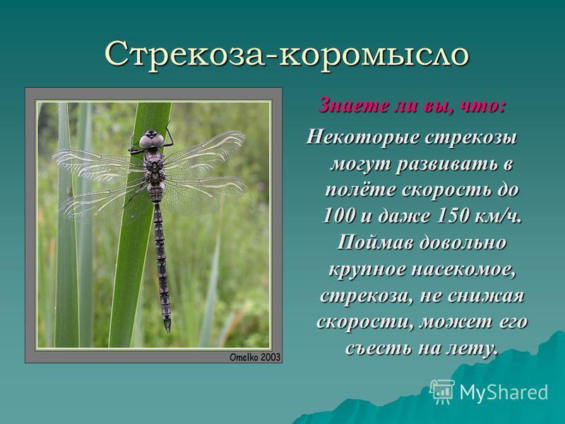 Стрекоза-коромысло Знаете ли вы, что: Некоторые стрекозы могут развивать в полёте скорость до 100 и даже 150 км/ч. Поймав довольно крупное насекомое, стрекоза, не снижая скорости, может его съесть на лету.