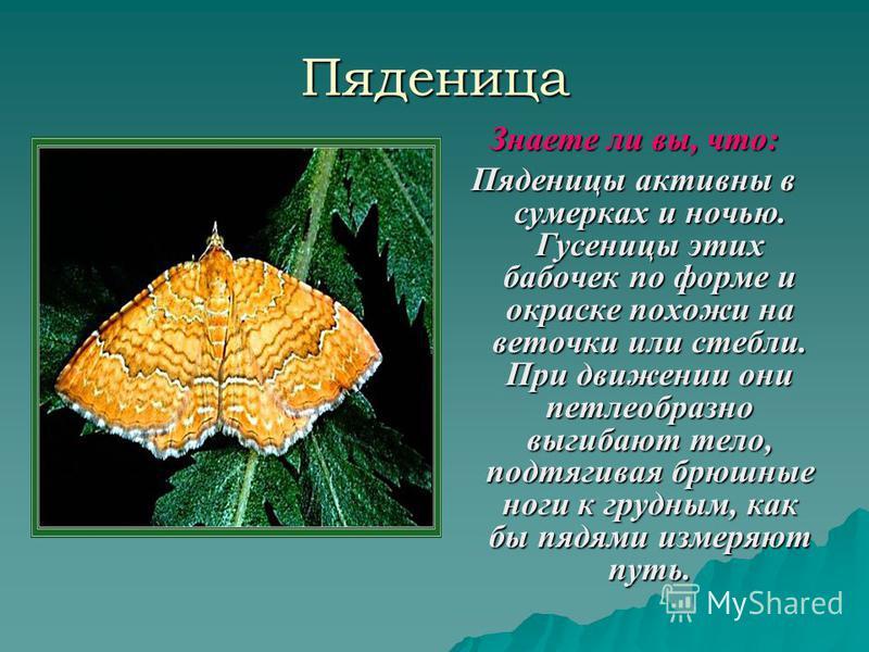 Пяденица Знаете ли вы, что: Пяденицы активны в сумерках и ночью. Гусеницы этих бабочек по форме и окраске похожи на веточки или стебли. При движении они петлеобразно выгибают тело, подтягивая брюшные ноги к грудным, как бы пядями измеряют путь.