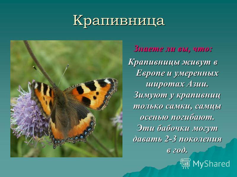 Крапивница Знаете ли вы, что: Крапивницы живут в Европе и умеренных широтах Азии. Зимуют у крапивниц только самки, самцы осенью погибают. Эти бабочки могут давать 2-3 поколения в год.