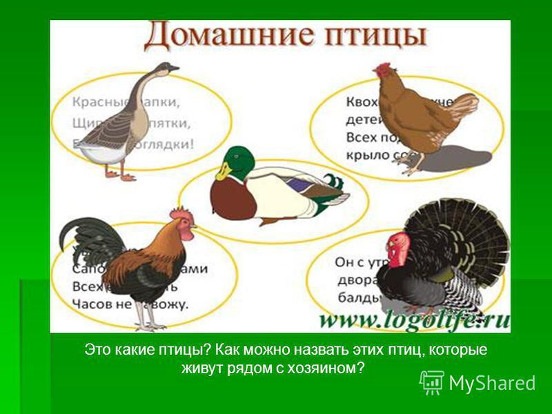 Это какие птицы? Как можно назвать этих птиц, которые живут рядом с хозяином?