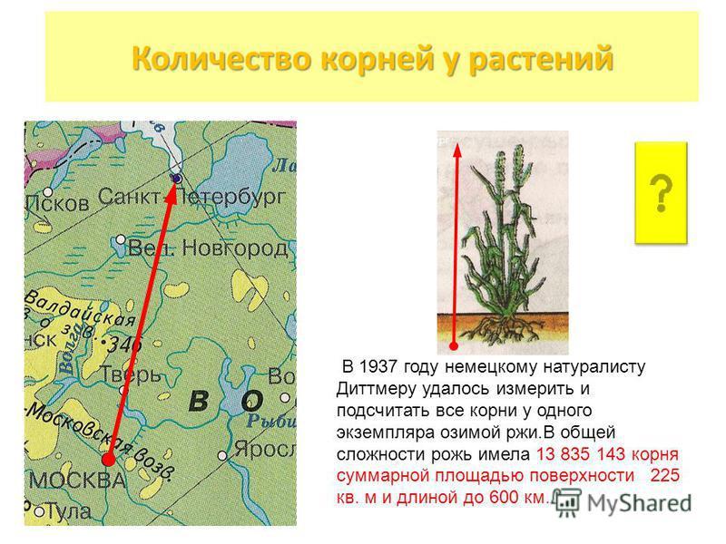 Москва С.-Петербург 600 км Рожь В 1937 году немецкому натуралисту Диттмеру удалось измерить и подсчитать все корни у одного экземпляра озимой ржи.В общей сложности рожь имела 13 835 143 корня суммарной площадью поверхности 225 кв. м и длиной до 600 к