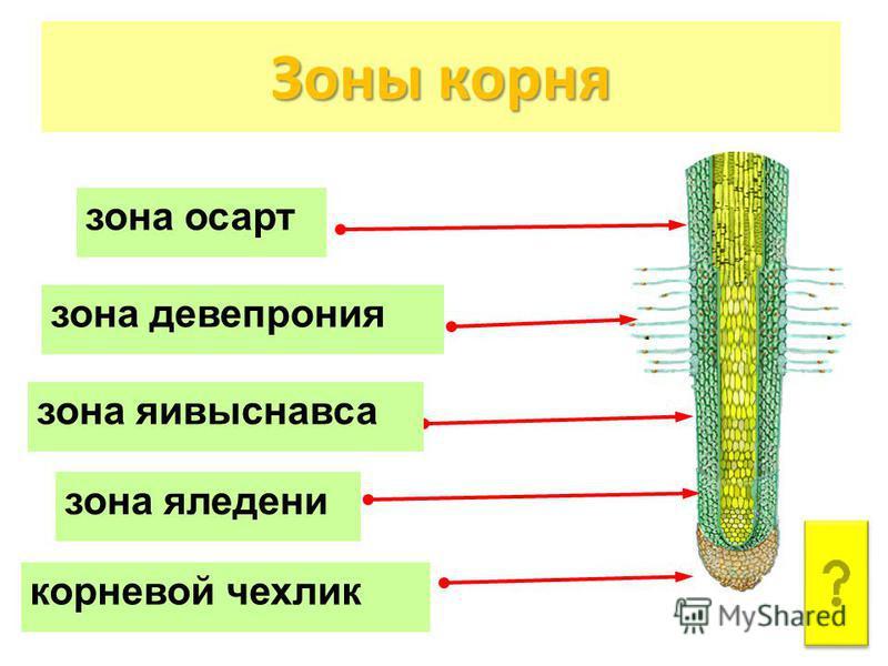Зоны корня зона осарт зона яледени зона девепрония корневой чехлик зона яивыснавса