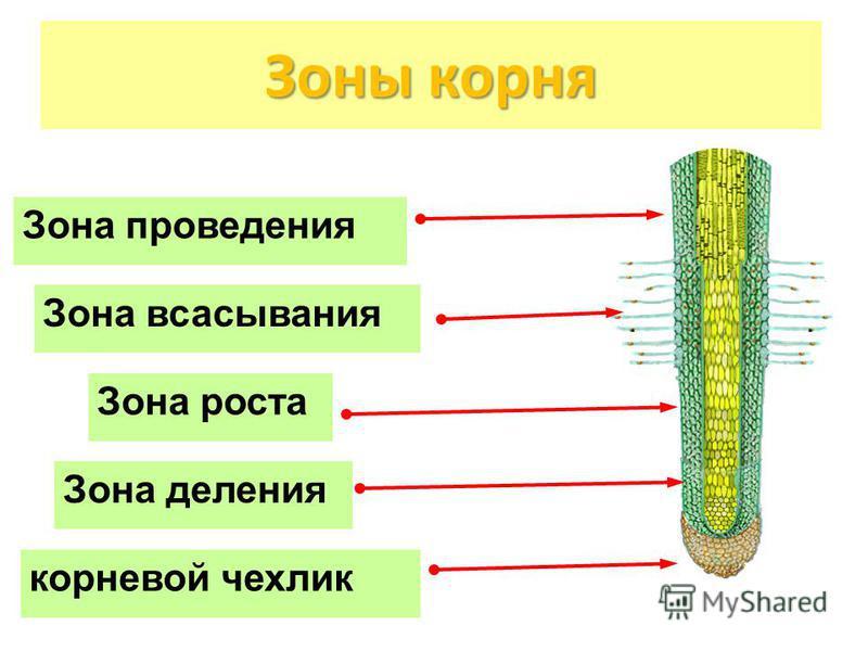 Зоны корня Зона роста Зона деления Зона проведения корневой чехлик Зона всасывания