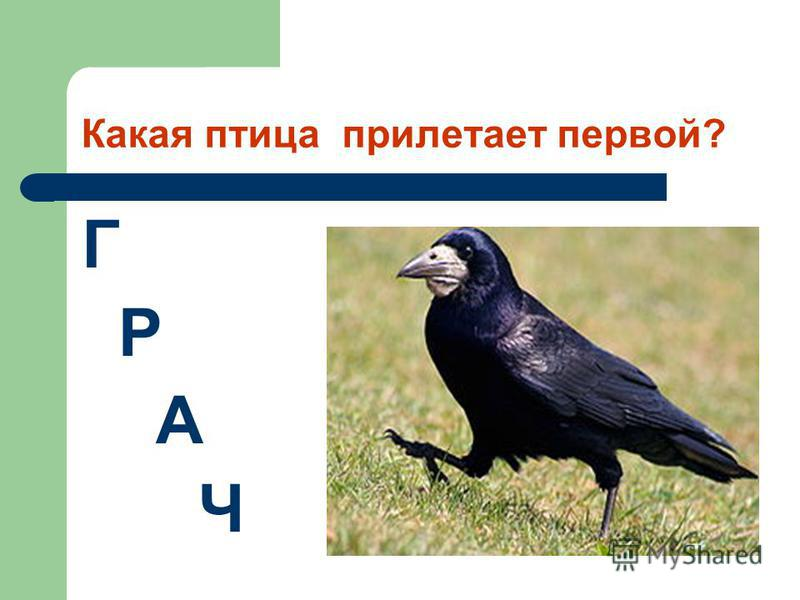 Какая птица прилетает первой? Г Р А Ч