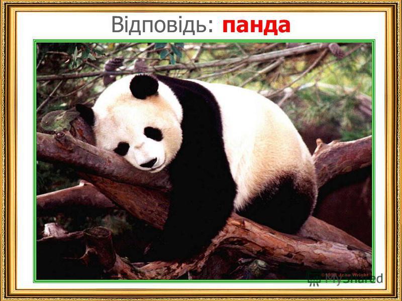 Відповідь: панда панда