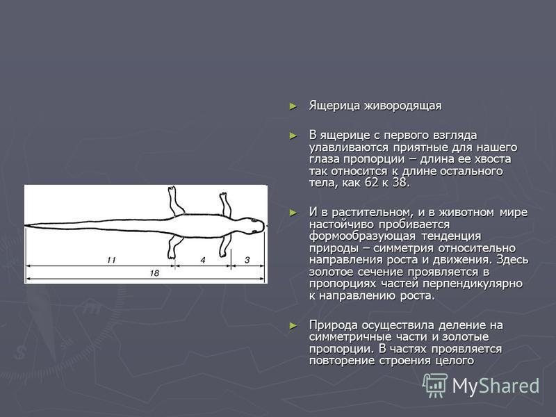 Ящерица живородящая В ящерице с первого взгляда улавливаются приятные для нашего глаза пропорции – длина ее хвоста так относится к длине остального тела, как 62 к 38. И в растительном, и в животном мире настойчиво пробивается формообразующая тенденци