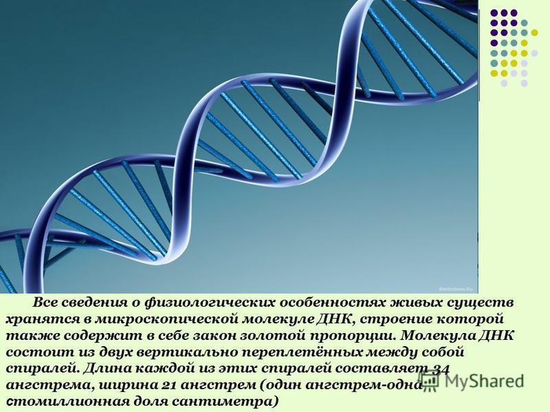 Все сведения о физиологических особенностях живых существ хранятся в микроскопической молекуле ДНК, строение которой также содержит в себе закон золотой пропорции. Молекула ДНК состоит из двух вертикально переплетённых между собой спиралей. Длина каж