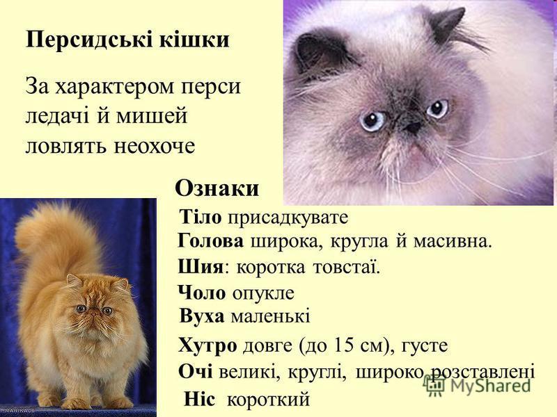 За характером перси ледачі й мишей ловлять неохоче Тіло присадкувате Голова широка, кругла й масивна. Шия: коротка товстаї. Чоло опукле Вуха маленькі Очі великі, круглі, широко розставлені Хутро довге (до 15 см), густе Ніс короткий Персидські кішки О
