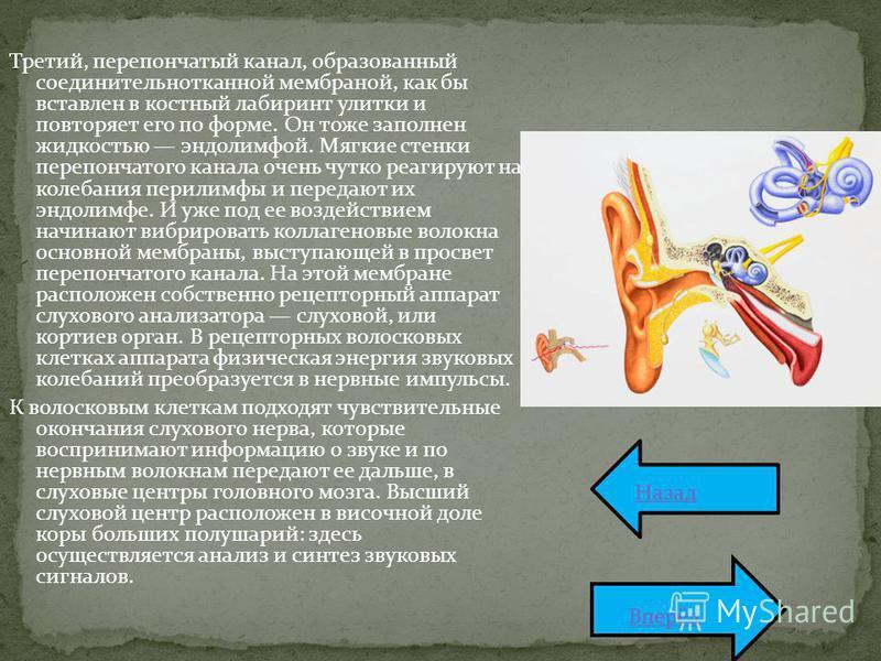 Третий, перепончатый канал, образованный соединительнотканной мембраной, как бы вставлен в костный лабиринт улитки и повторяет его по форме. Он тоже заполнен жидкостью эндолимфой. Мягкие стенки перепончатого канала очень чутко реагируют на колебания