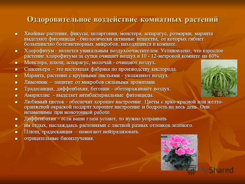 Оздоровительное воздействие комнатных растений Хвойные растения, фикусы, пеларгония, монстера, аспарагус, розмарин, маранта выделяют фитонциды - биологически активные вещества, от которых гибнет большинство болезнетворных микробов, находящихся в комн