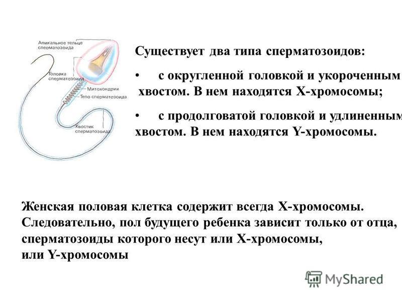 Существует два типа сперматозоидов: с округленной головкой и укороченным хвостом. В нем находятся Х-хромосомы; с продолговатой головкой и удлиненным хвостом. В нем находятся Y-хромосомы. Женская половая клетка содержит всегда Х-хромосомы. Следователь
