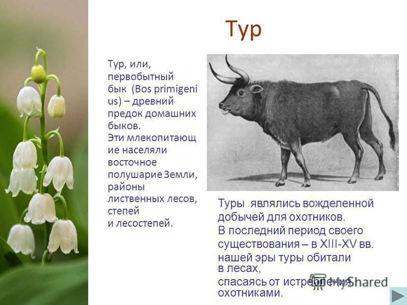 Тур Тур, или, первобытный бык (Bos primigeni us) – древний предок домашних быков. Эти млекопитающие населяли восточное полушарие Земли, районы лиственных лесов, степей и лесостепей. Туры являлись вожделенной добычей для охотников. В последний период