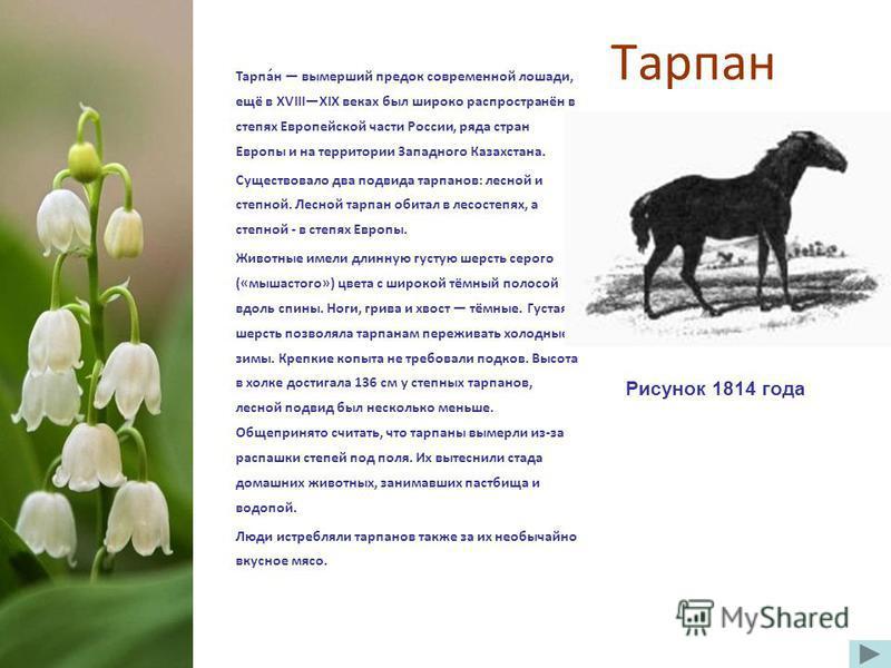 Тарпан Тарпа́н вымерший предок современной лошади, ещё в XVIIIXIX веках был широко распространён в степях Европейской части России, ряда стран Европы и на территории Западного Казахстана. Существовало два подвида тарпанов: лесной и степной. Лесной та