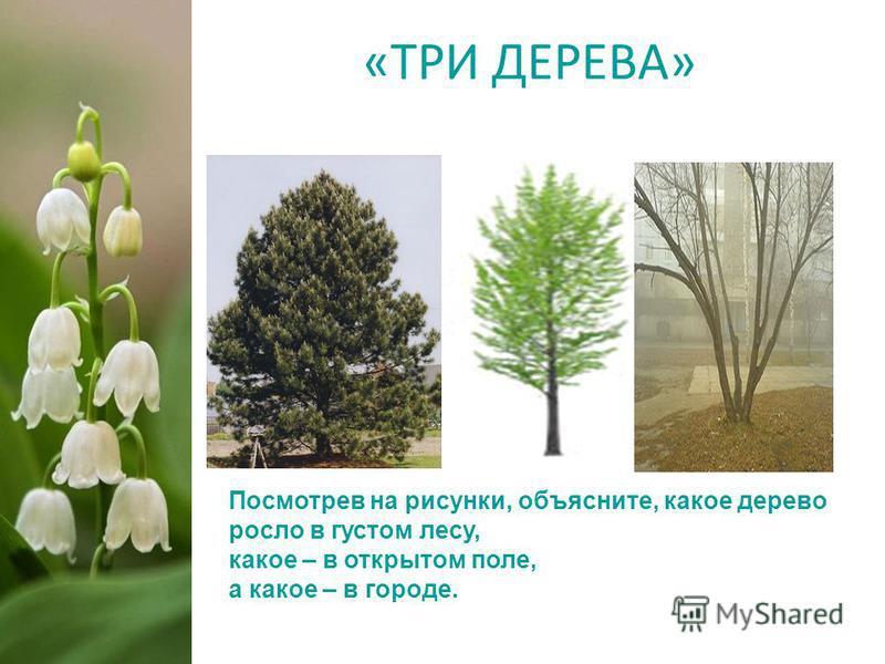 «ТРИ ДЕРЕВА» Посмотрев на рисунки, объясните, какое дерево росло в густом лесу, какое – в открытом поле, а какое – в городе.