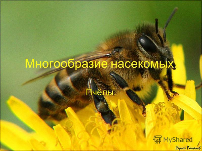 Многообразие насекомых. Пчёлы.