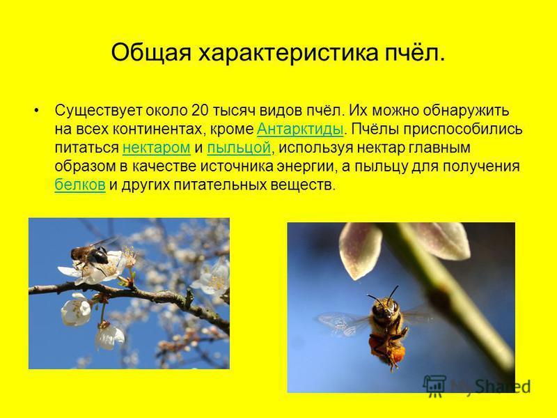 Общая характеристика пчёл. Существует около 20 тысяч видов пчёл. Их можно обнаружить на всех континентах, кроме Антарктиды. Пчёлы приспособились питаться нектаром и пыльцой, используя нектар главным образом в качестве источника энергии, а пыльцу для