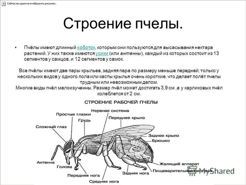 Строение пчелы. Пчёлы имеют длинный хоботок, которым они пользуются для высасывания нектара растений. У них также имеются усики (или антенны), каждый из которых состоит из 13 сегментов у самцов, и 12 сегментов у самок.хоботокусики Все пчёлы имеют две