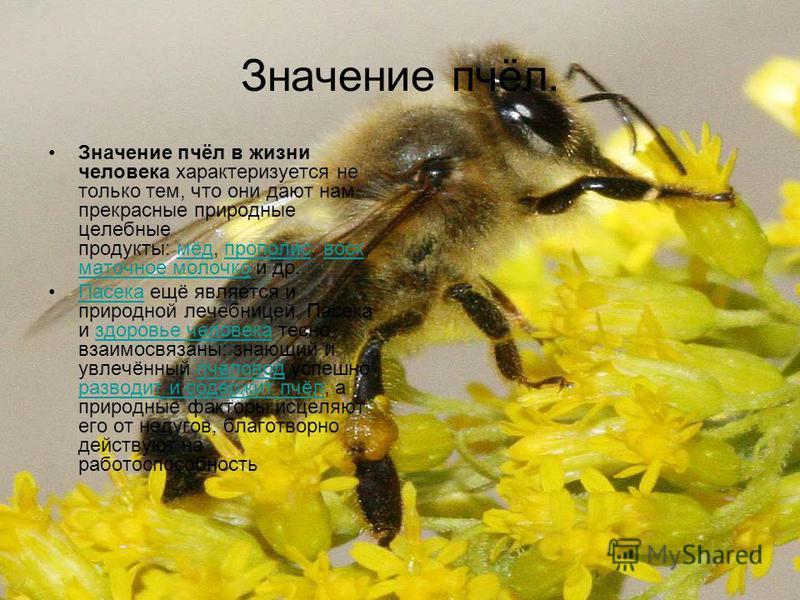 Значение пчёл. Значение пчёл в жизни человека характеризуется не только тем, что они дают нам прекрасные природные целебные продукты: мёд, прополис, воск, маточное молочко и др.мёд прополис воск маточное молочко Пасека ещё является и природной лечебн