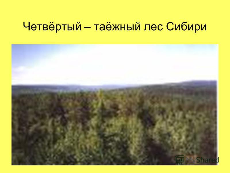 Четвёртый – таёжный лес Сибири