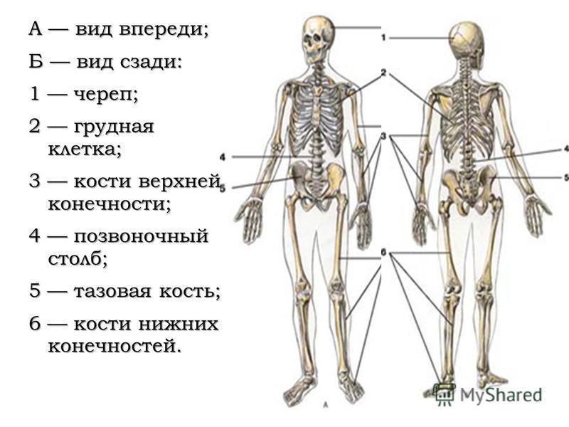 А вид впереди; Б вид сзади: 1 череп; 2 грудная клетка; 3 кости верхней конечности; 4 позвоночный столб; 5 тазовая кость; 6 кости нижних конечностей.