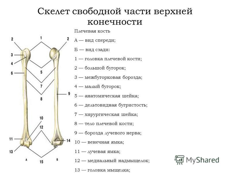 Скелет свободной части верхней конечности Плечевая кость А вид спереди; Б вид сзади: 1 головка плечевой кости; 2 большой бугорок; 3 межбугорковая борозда; 4 малый бугорок; 5 анатомическая шейка; 6 дельтовидная бугристость; 7 хирургическая шейка; 8 те