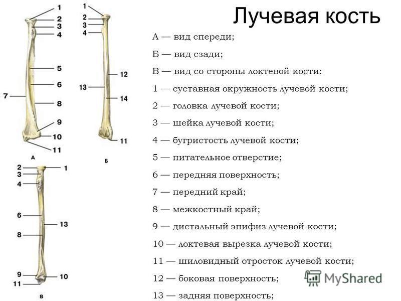 Лучевая кость А вид спереди; Б вид сзади; В вид со стороны локтевой кости: 1 суставная окружность лучевой кости; 2 головка лучевой кости; 3 шейка лучевой кости; 4 бугристость лучевой кости; 5 питательное отверстие; 6 передняя поверхность; 7 передний