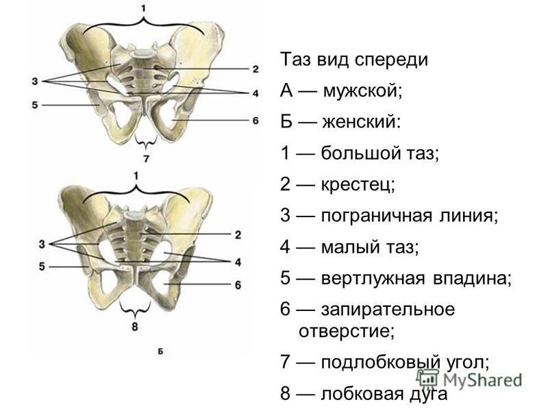 Таз вид спереди А мужской; Б женский: 1 большой таз; 2 крестец; 3 пограничная линия; 4 малый таз; 5 вертлужная впадина; 6 запирательное отверстие; 7 подлобковый угол; 8 лобковая дуга