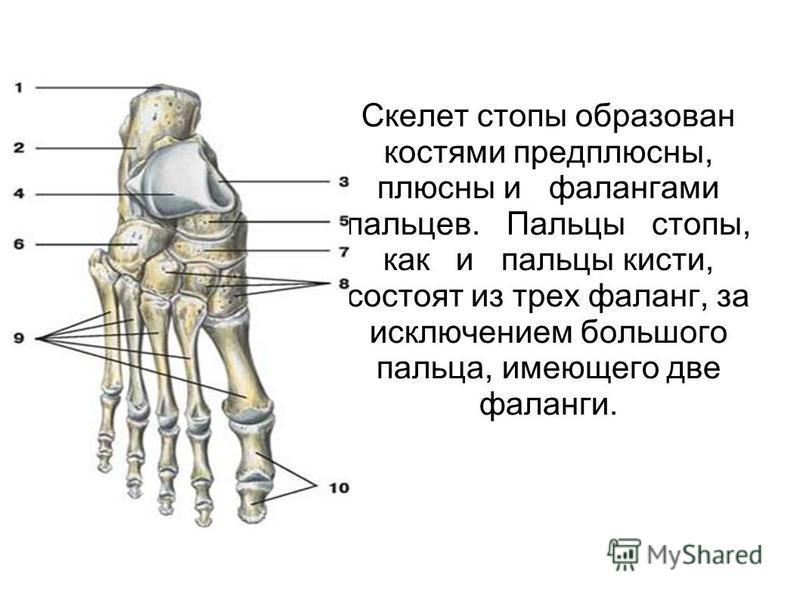 Скелет стопы образован костями предплюсны, плюсны и фалангами пальцев. Пальцы стопы, как и пальцы кисти, состоят из трех фаланг, за исключением большого пальца, имеющего две фаланги.