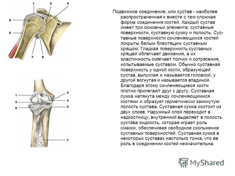 Подвижное соединение, или сустав - наиболее распространенная и вместе с тем сложная форма соединения костей. Каждый сустав имеет три основных элемента: суставные поверхности, суставную сумку и полость. Сус тавные поверхности сочленяющихся костей по