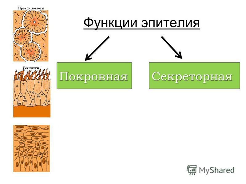 Функции эпителия Покровная Секреторная
