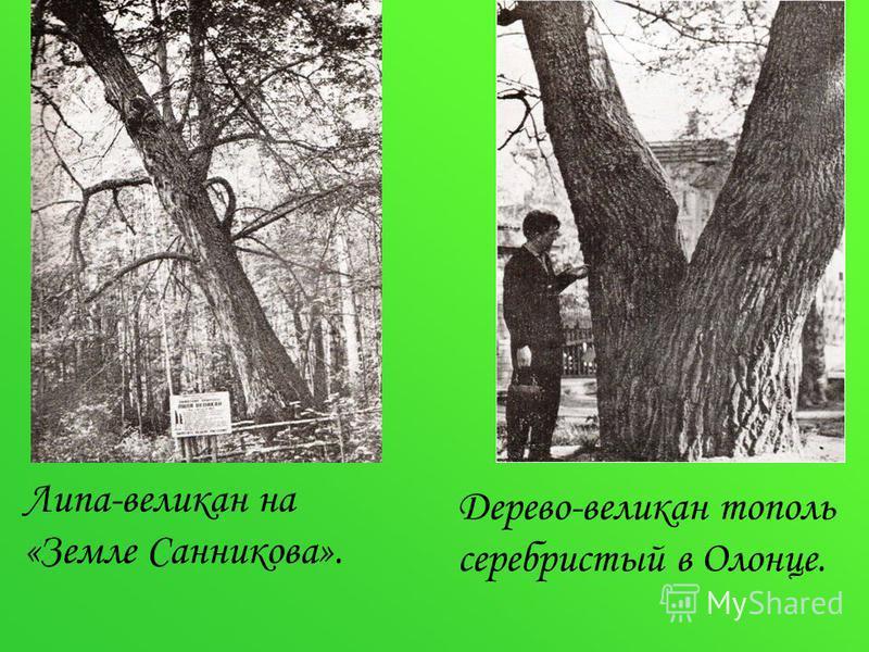 Липа-великан на «Земле Санникова». Дерево-великан тополь серебристый в Олонце.