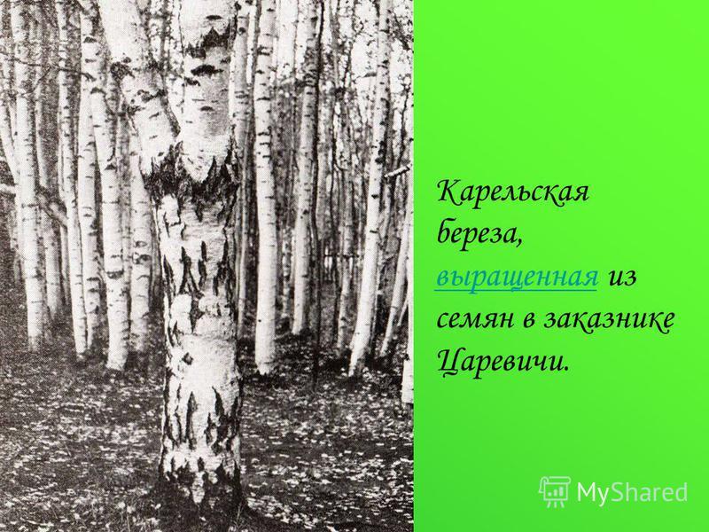 Карельская береза, выращенная из семян в заказнике Царевичи. выращенная