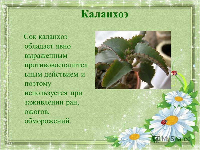 Каланхоэ Сок каланхоэ обладает явно выраженным противовоспалительным действием и поэтому используется при заживлении ран, ожогов, обморожений.