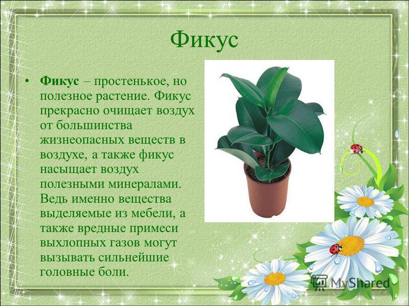 Фикус Фикус – простенькое, но полезное растение. Фикус прекрасно очищает воздух от большинства жизнеопасных веществ в воздухе, а также фикус насыщает воздух полезными минералами. Ведь именно вещества выделяемые из мебели, а также вредные примеси выхл