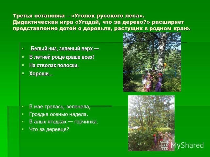 Третья остановка – «Уголок русского леса». Дидактическая игра «Угадай, что за дерево?» расширяет представление детей о деревьях, растущих в родном краю. Белый низ, зеленый верх Белый низ, зеленый верх В летней роще краше всех! В летней роще краше все