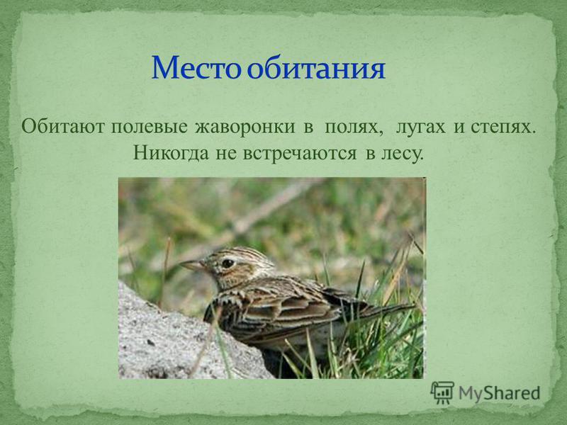 Обитают полевые жаворонки в полях, лугах и степях. Никогда не встречаются в лесу.